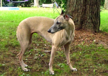 whippets for adoption