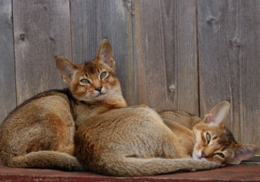 Abyssinian cat rescue uk